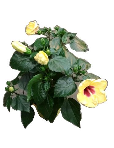 Гибискус лимонный цвет с красной серединой