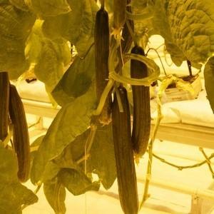 Огурец Рапидес F1 семена огурца партенокарпического (De Ruiter Seeds / Де Ройтер Сидс) Огурец_Рапидес.JPG