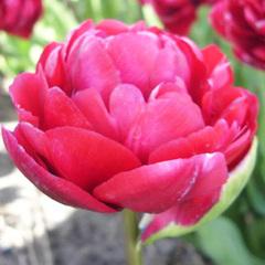 Tulip-Flash-Point-02