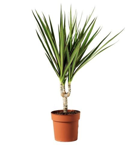 Купить  в Тбилиси Комнатные Растения