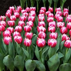 tulip-Columbus-01