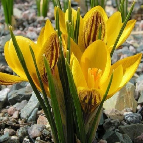 Крокус ботанический Дороти весенний 20 шт