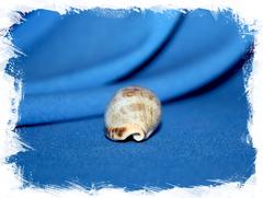 Ципрея каурика элонгата (Erronea caurica elongata)