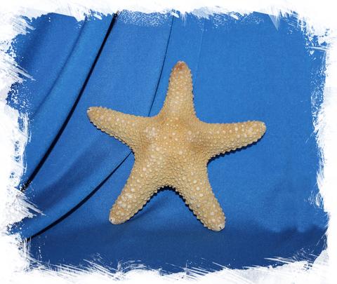 Морская звезда Астеродискус 15-17 см.