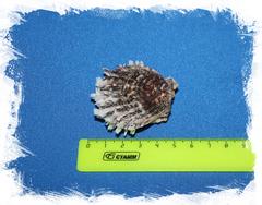 Spondylus sinensis, Китайский спондилус, Спондилус синенсис