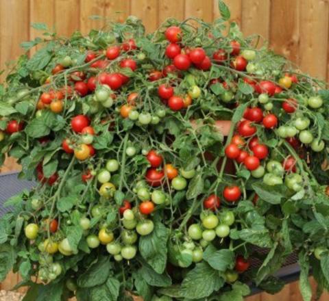 Томат ампельный - Красное изобилие (Красные, сладкие) Red Profusion
