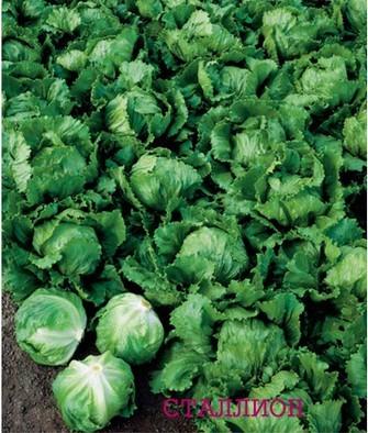 Seminis Сталлион семена салата айсберг (Seminis / Семинис) Сталлион__Stallion_.JPG