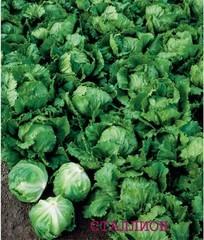 Сталлион семена салата айсберг (Seminis / Семинис)