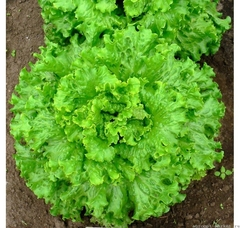 Гейзер семена салата листового (Гавриш)
