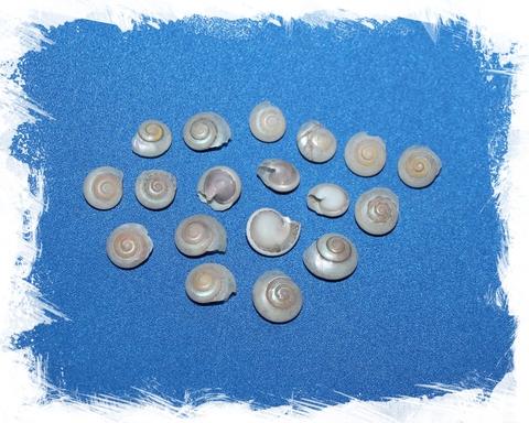 Умбониум перламутровый 1 - 1,5 см.