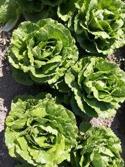 Равив семена салата айсберг (Hazera / Хазера)
