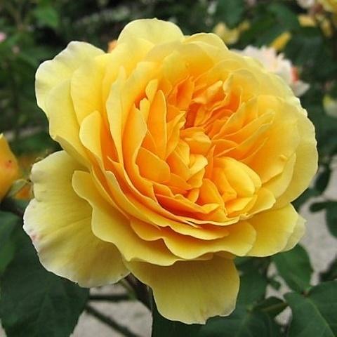 Роза английская душистая Грэхам Томас