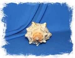 Плеуроплока трапезиум (Pleuroploca trapezium) коллекц.
