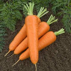 Семена моркови Канада F1, Bejo, 0,5 гр.