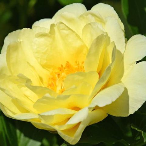 Пион ITOH Smith Family Yellow