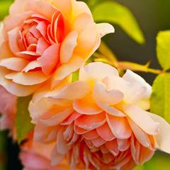 Роза парковая Грайс