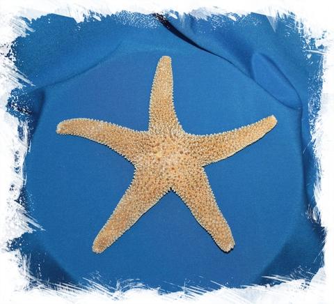 Мексиканская морская звезда 15-20 см