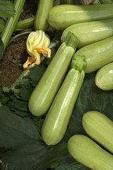 Джетта F1 семена кабачка (Vilmorin / Вильморин)