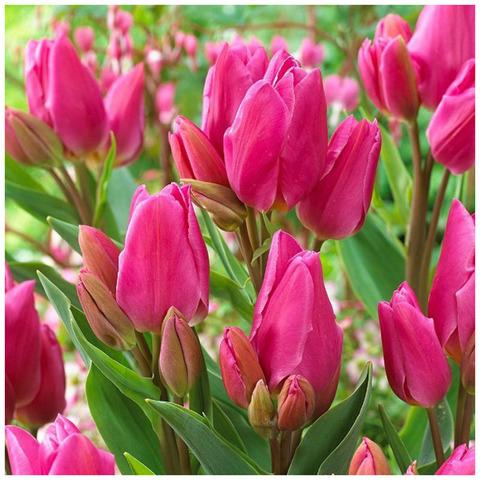 Тюльпан Многоцветковый Хеппи Фэмели