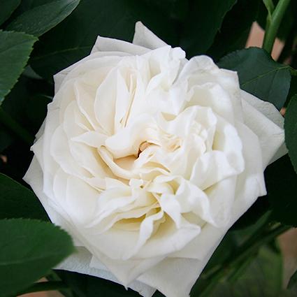 Розы пионовидные White O'Hara от 9шт