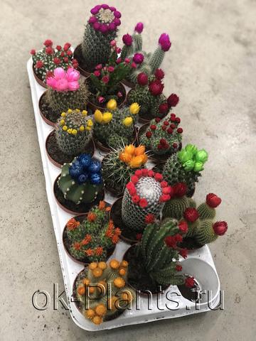 Кактус Микс с сухими цветами