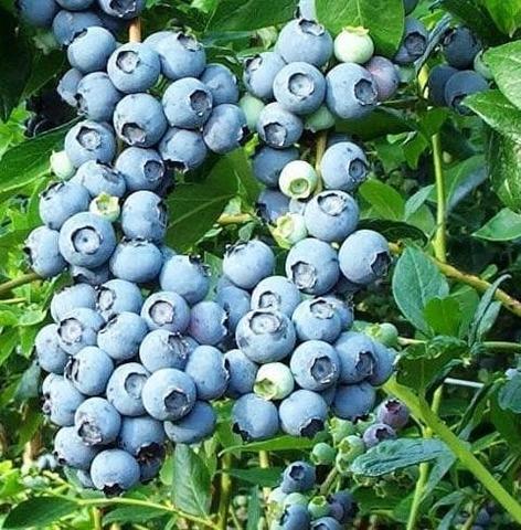 Голубика высокорослая Блюкроп (С2)-Vaccinium corimbosum  Bluecrop