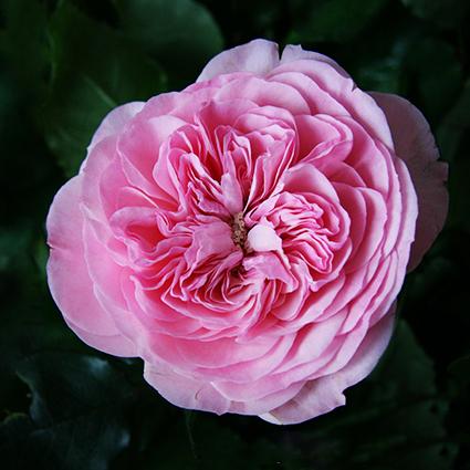 Купить букет розовых пионовидных роз Mariatheresia в Перми