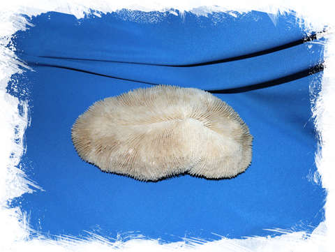Коралл Грибовидная Фунгия (Fungia) 24 см.