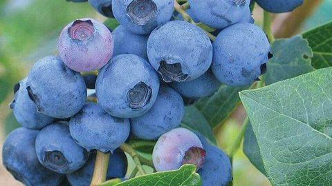 Голубика высокорослая Эрлиблю (С2)-Vaccinium corimbosum  Earliblue