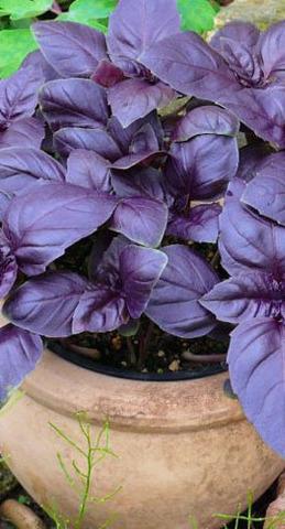 Семена Базилик Фиолетовый б/п