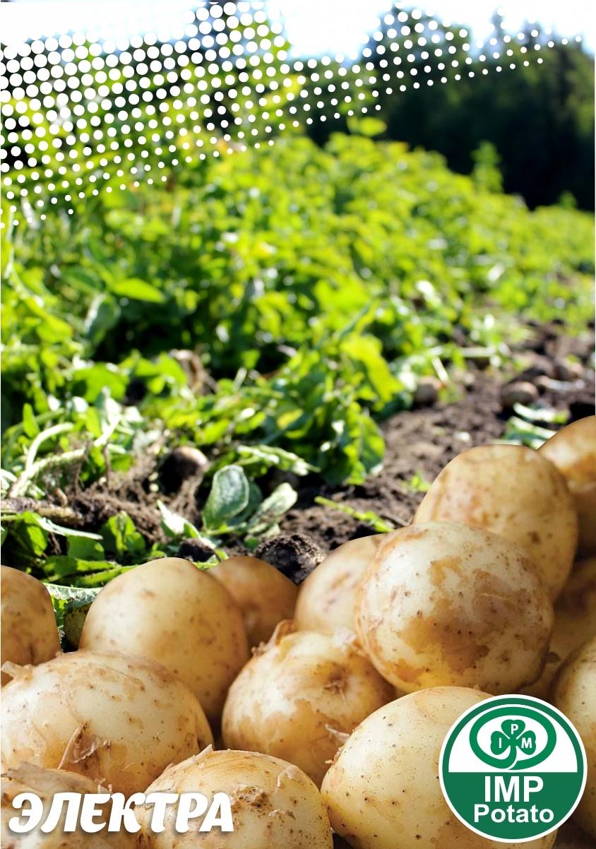 Семенной картофель  ЭЛЕКТРА ТМ IMP Potato (Голландия)