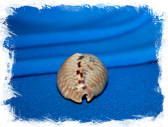 Ципрея мус (Cypraea mus)