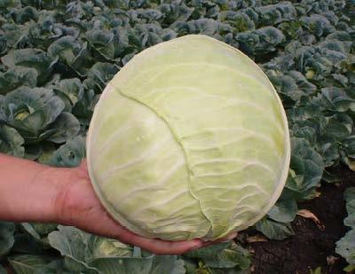 Белокочанная Хипо F1 семена капусты белокочанной (Sakata / Саката) ХИПО_F1.jpg