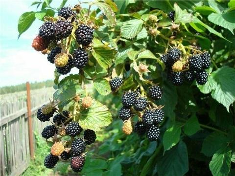 Ежевика Рубен (С2)-Rubus fruticosa Reuben
