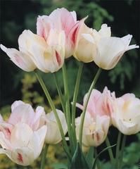 Тюльпан Многоцветковый Кенди Клаб