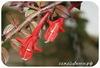 Колумнея, Kewensis