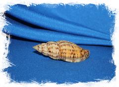 Волюта бохоленсис (Lyria boholensis)