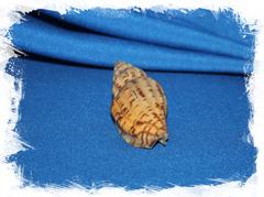 Волюта бохоленсис, Lyria boholensis
