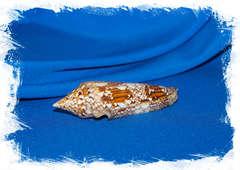 Конус бенгаленсис (Conus bengalensis)