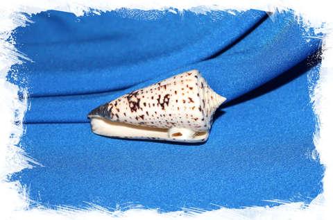 Конус талассиаркус (Conus thalassiarchus) 6,5 см.