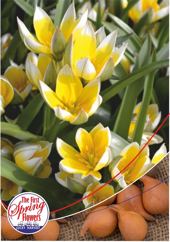 Луковицы Тюльпана Ботанического Tarda (Тарда) TM Jan de Wit en Zonen B.V. (количество в упаковке 5 луковиц)