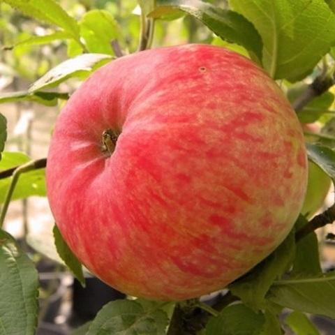 Яблоня летний сорт Яблочный Спас