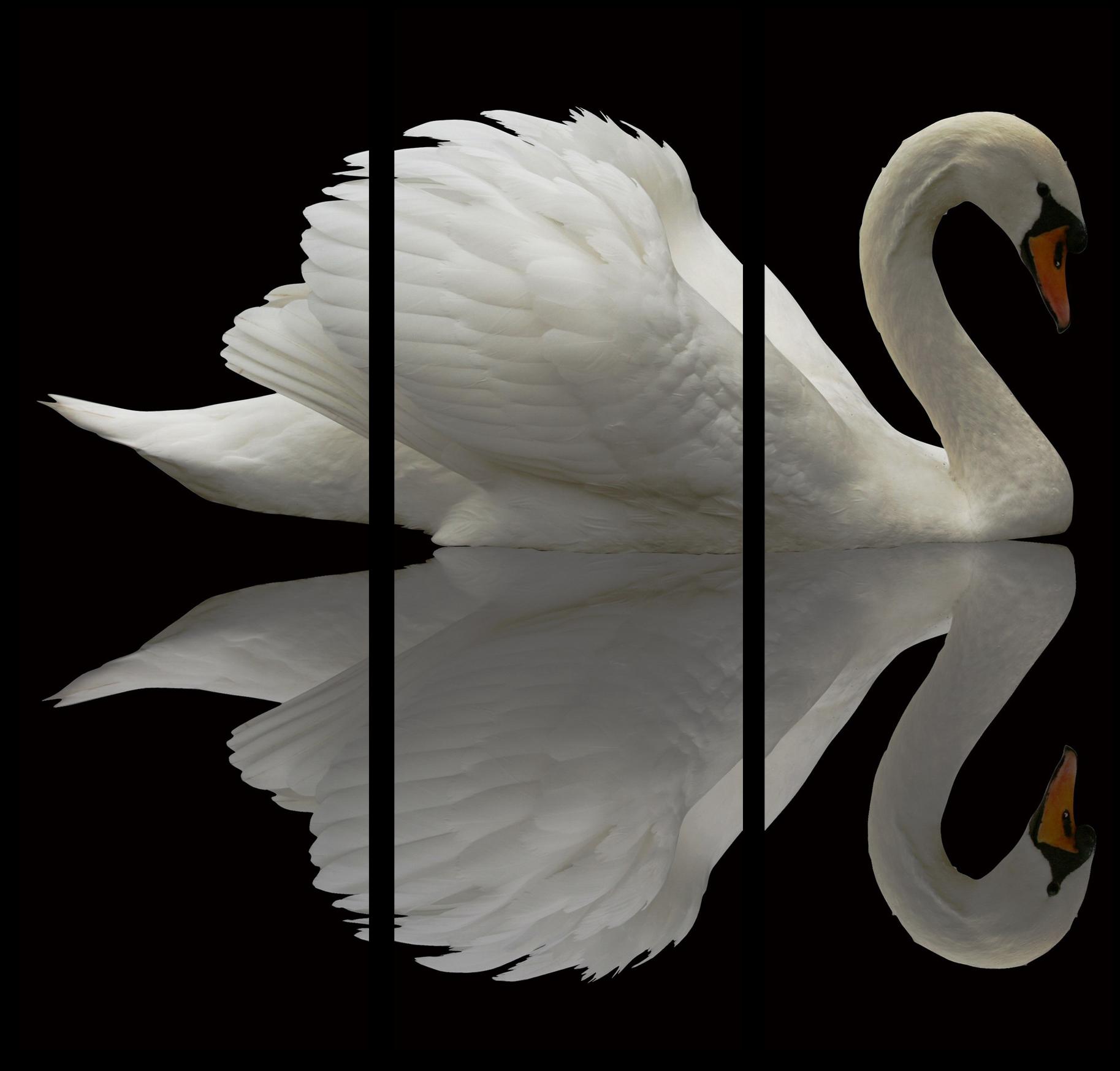 """Животные Модульная картина """"Лебедь в отражении"""" М415.png"""