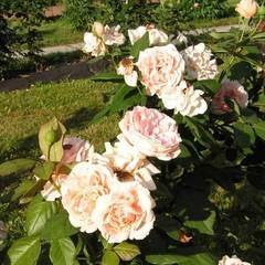 Роза чайно-гибридная Донателла Donatella