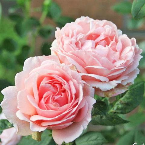 Роза чайно-гибридная Донателла купить