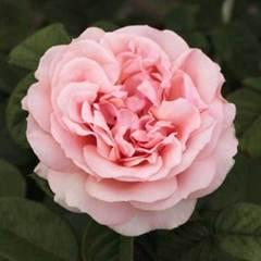 Роза чайно-гибридная Donatella