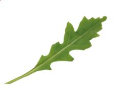 Грация семена рукколы (Enza Zaden / Энза Заден)
