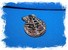 Chlamys lentiginosa
