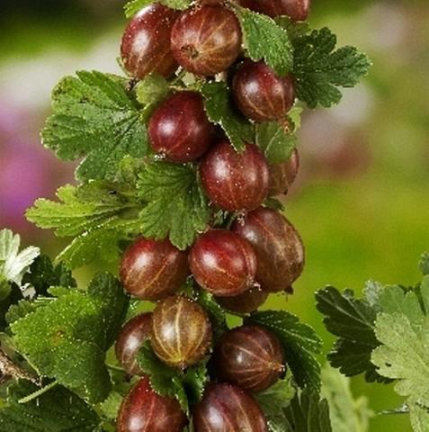 Крыжовник Спайнфри (С2)-Ribes uva-crispa Spinefree