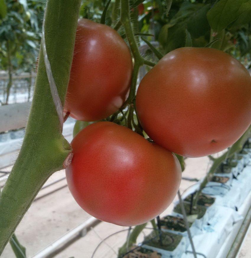 Томат 3725 F1 семена томата индетерминантного (Seminis / Семинис) СВ_3725_F1__SV3725_F1__2_семена_овощей_оптом.jpg